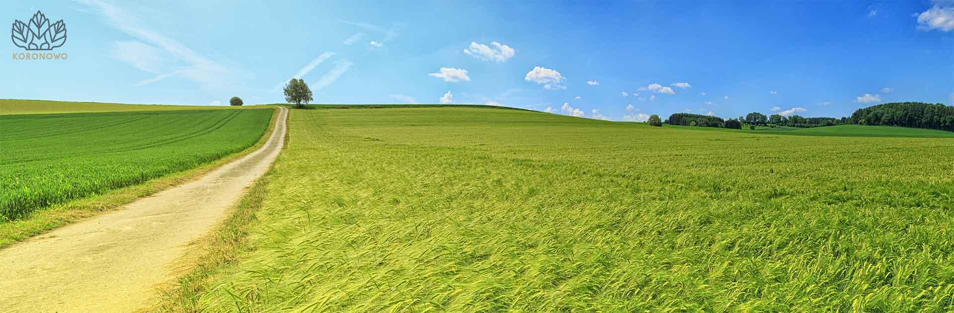 Widok na pole zbóż na Kujawach